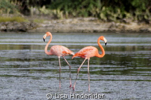 Flamingo Love! by Lisa Hinderlider 